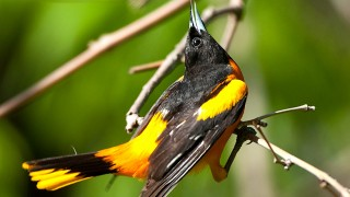 MALE-BALTIMORE-ORIOLE-FVE_0959