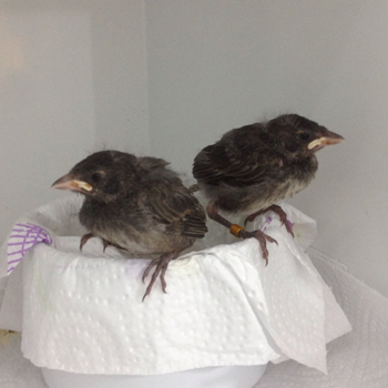Hand-reared fledglings, photographed in March 2014. Photo by Beau Parks/San Diego Zoo Global