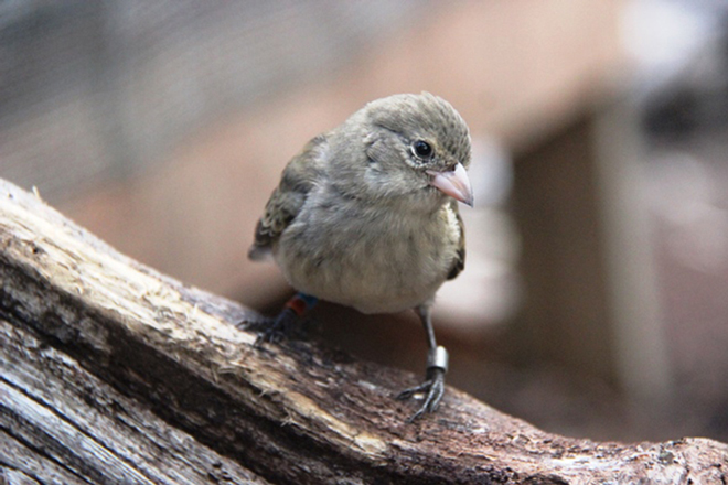 A young Mangrove Finch awaits release this spring. Photo by Francesca Cunninghame/Charles Darwin Foundation