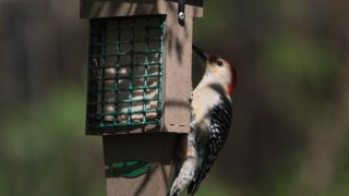 Red-bellied-Woodpecker-05-10-14