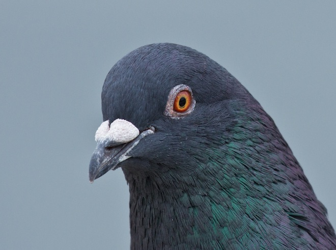 Rock Pigeon may be a fellow traveler on our little planet, but it needs no subsidizing. Photo by Laura Erickson.
