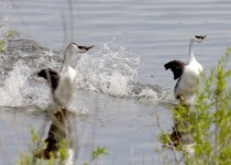 Western-Grebes_7144