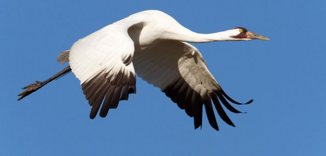 Whooping Crane photo by Steve Gifford