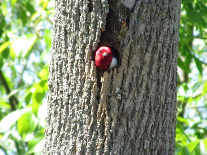 Woodpecker-emerge