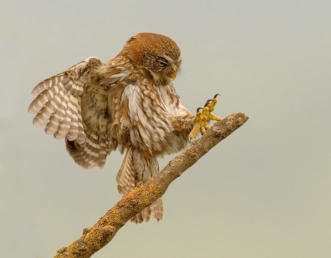 austral-pygmy-owl