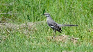 bobvt_20140604_NorthernMockingbird_1684