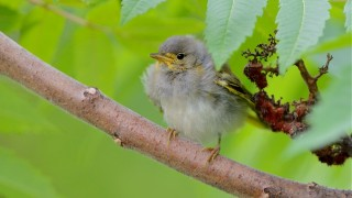 bobvt_20140626_YellowWarbler_5931