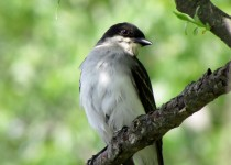kingbird2