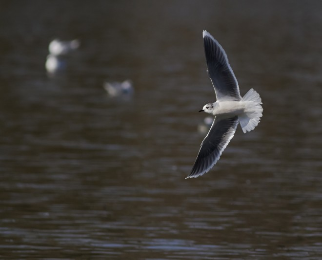 little-gull-2