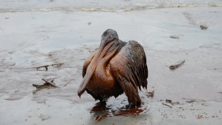 A Brown Pelican drenched in oil stands on the beach near Grand Isle, Louisiana, in June 2010. Creative Commons photo, courtesy Louisiana GOHSEP and Governor Bobby Jindal's office.