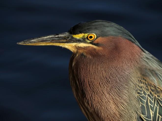 2014-Green-Heron
