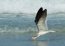 Black-Skimmer-chick-skimming-1-of-1