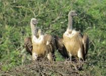 Cape-Vultures