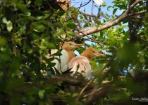 Cattle-Egret-4