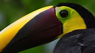 Chestnut-mandibled Toucan_320x180
