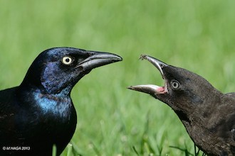 Common Grackles, adult (left) and juvenile, by mayhaga.