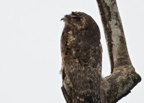 Common-Potoo-21