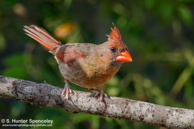 DSC0017-Northern-Cardinal