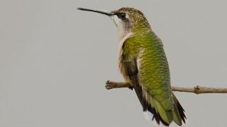 DSC0017-Ruby-throated-Hummingbird