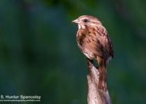 DSC0065-Song-Sparrow