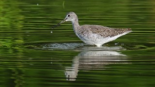 DSC0132-Greater-Yellowlegs