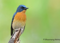 DSC_1970-Tickells-Blue-Flycatcher-Photographed-by-Bhasmang-Mehta-India