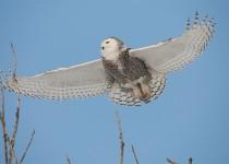 Snowy Owl in Flight 3