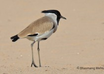 DSC_8420-River-Lapwing-Photographed-by-Bhasmang-Mehta-India