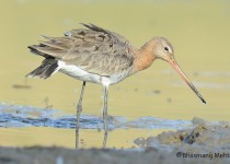 DSC_8816-Black-tailed-Godwit-Photographed-by-Bhasmang-Mehta-India