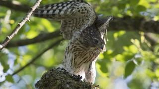 Fledgling-Sharp-shinned-Hawk