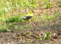 Goldfinch-237-Upload