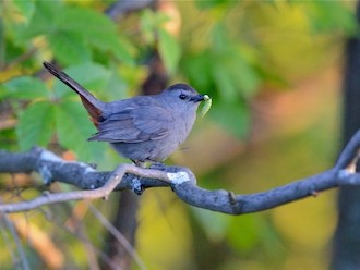 Gray Catbird in Swanton, Vermont, June 22, 2014, by bobvt.