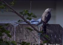 Grey-Catbird