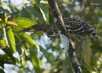 Juvenile-Rufescent-Tiger-Heron