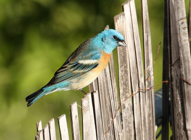 Lazuli Bunting by vmiller