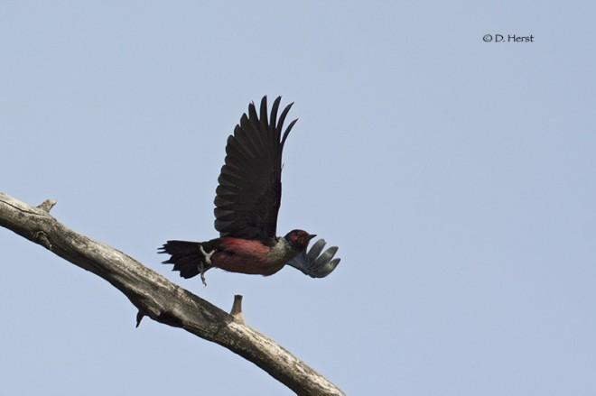 Lewiss-Woodpecker-9