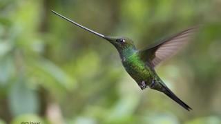 Male-Sword-billed-Hummingbird