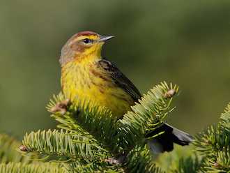 Palm Warbler: 98% breed in the boreal forest. Photo © Jeff Nadler, courtesy of Boreal Songbird Initiative.