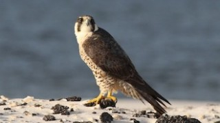 Peregrine Falcon at Gulf Islands National Seashore, Florida, by Jeff Cole.
