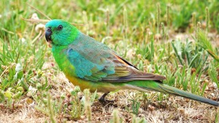 Red-rumped-Parrot