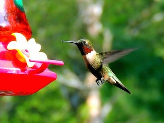 Ruby-throated Hummingbird in Parishville, New York, May 15, 2014, by xmailmand.
