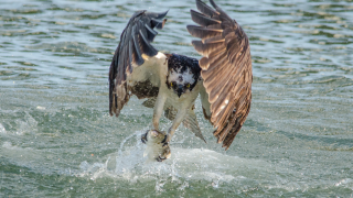 Osprey ©2014 Harry Collins