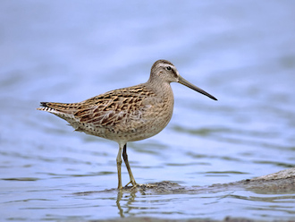 Short-billed Dowitcher: 97% breed in the boreal forest. Photo © Jeff Nadler, courtesy of Boreal Songbird Initiative.