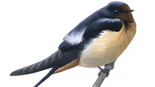 Sibley Barn Swallow_320x180