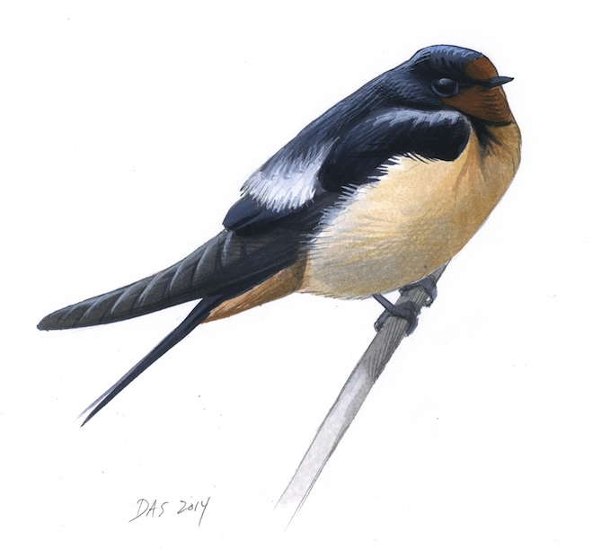 BLUE-BLACK AND PALE GRAY: On a cold morning, you might find a Barn Swallow that looks like this one. It has fluffed out all of its feathers, revealing two pale gray patches on the upper side. Art by David Sibley.