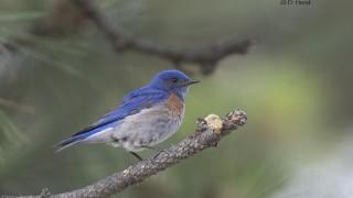 Western-Bluebird-1