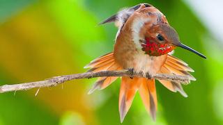 YV-Rufous-Hummingbird-320x180
