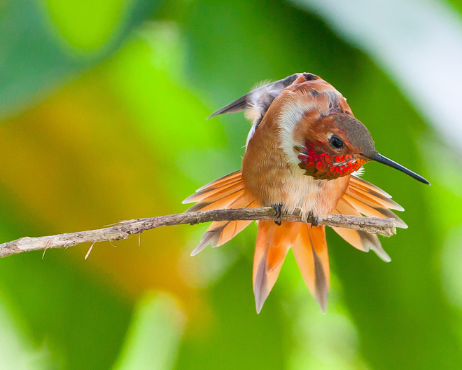 "Rufous Hummingbird in Ventress, Louisiana, April 2014, by Helena Reynolds. Published in ""Your View,"" BirdWatching Magazine, August 2014, page 49."
