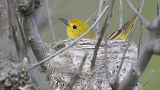 Yellow-Warbler-nest-1