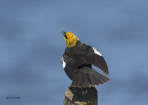 Yellow-headed-Blackbird-2